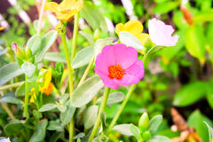 Rosa Kosmeya blommor Royaltyfria Bilder