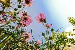Rosa Kosmeya med blå himmel Arkivfoton