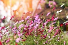 Rosa kosmos blommar att blomma fotografering för bildbyråer