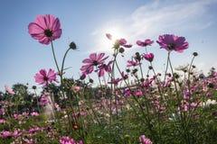 Rosa kosmos blommar att blomma i fältet Royaltyfri Fotografi