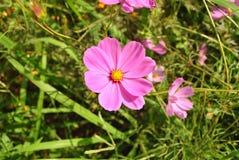 Rosa kosmos blommar att blomma i trädgården Royaltyfri Bild