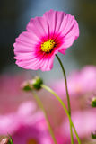 Rosa kosmos blommar i utomhus- parkerar Royaltyfria Foton