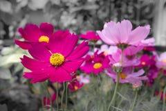 Rosa kosmos blommar med svartvit bakgrund - blek färg Royaltyfri Foto