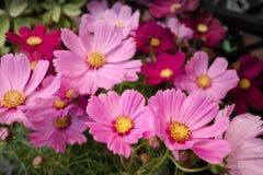 Rosa kosmos blommar med tråkig bakgrund Arkivfoto