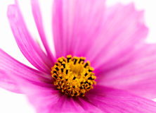 Rosa Kosmos-Blume stockfotografie