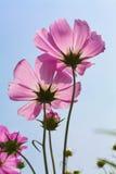 Rosa Kosmos-Blume Lizenzfreies Stockfoto