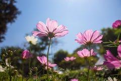 Rosa kosmos i bakgrund för blå himmel royaltyfri foto