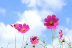 Rosa kosmos i blommafält Arkivbilder