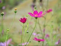 Rosa Kosmos im Garten stockbild