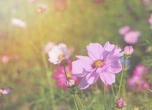 Rosa Kosmos unter Sonnenlicht Stockbilder