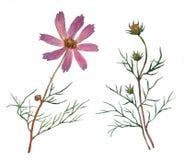 Rosa kosmosbipinnatus som kallas gemensamt det trädgårds- kosmoset eller mexikanaster Royaltyfria Foton