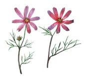 Rosa kosmosbipinnatus som kallas gemensamt det trädgårds- kosmoset eller mexikanaster Fotografering för Bildbyråer