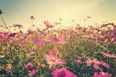 Rosa kosmosblomma för fält med tonad tappning Arkivfoton