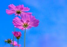 Rosa kosmosblomma i blå himmel Arkivfoto