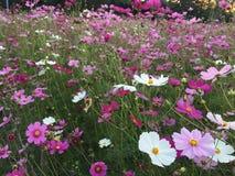 Rosa kosmosblomma i trädgård Royaltyfri Foto