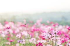 Rosa kosmosblommafält, landskap av blommor royaltyfri bild