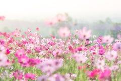 Rosa kosmosblommaf?lt, landskap av blommor royaltyfri bild