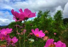 Rosa kosmosblommor som blommar i trädgården i regnig säsong arkivfoto