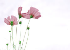 Rosa Kosmosblume Stockfotografie