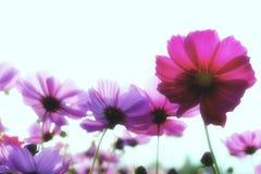 Rosa Kosmosblume auf weißem Hintergrund Stockfoto