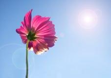 Rosa Kosmosblume im blauen Himmel - Blendenfleck und Sonnenlicht Stockbilder