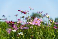 Rosa Kosmosblume im garden3 Stockbilder