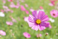 Rosa Kosmosblume mit dem Unschärfehintergrund (hell erweichen Sie Art) Lizenzfreie Stockfotografie