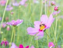 Rosa Kosmosblume und -biene mit dem Unschärfehintergrund (hell erweichen Sie Art) Stockfotografie