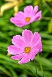 Rosa Kosmosblumen auf undeutlichem grünem Hintergrund Stockbilder