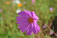 Rosa Kosmosblumen-Blütenabschluß oben Stockfoto