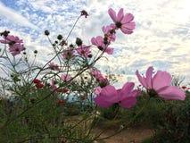 Rosa Kosmosblumen, die im Garten unter blauem Himmel blühen stockfotos