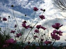 Rosa Kosmosblumen, die im Garten unter blauem Himmel blühen lizenzfreies stockbild
