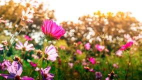 Rosa Kosmosblumen graden im Park Stockbilder