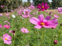 Rosa Kosmosblumen im Garten Lizenzfreie Stockfotos