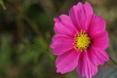 Rosa Kosmosblumenabschluß oben Stockfotografie