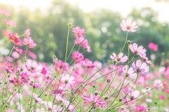 Rosa Kosmosblumenfeld, Landschaft von Blumen lizenzfreies stockbild