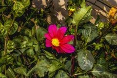 Rosa Kosmosblumengarten, dieses Foto ist eine Fotowirksamkeit verliehen worden, zum es einem Ölgemälde ähneln zu lassen stockbild