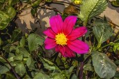 Rosa Kosmosblumengarten, dieses Foto ist eine Fotowirksamkeit verliehen worden, zum es einem Ölgemälde ähneln zu lassen stockfoto