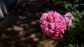 Rosa kräppmyrten för blomning arkivfoto