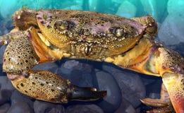 Rosa krabba Fotografering för Bildbyråer