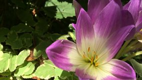 Rosa krokus som blommar bland gröna sidor, statiska video arkivfilmer