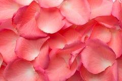 Rosa kronblad. Royaltyfri Bild