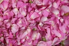 Rosa kronblad av löst steg Royaltyfria Foton