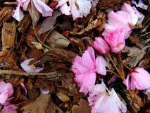 Rosa kronblad för körsbärsröd blomning som lägger på en jordning av skället arkivfoton