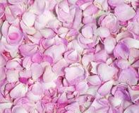 Rosa kronblad som bakgrund arkivfoton