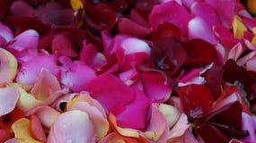 Rosa kronbladbakgrund för ` s Arkivfoto
