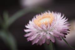 Rosa kronbladblomma Royaltyfri Fotografi