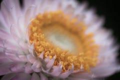 Rosa kronbladblomma Arkivfoto