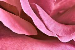 Rosa kronbladnärbild Royaltyfri Foto