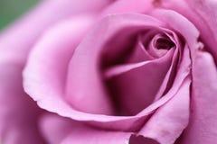 Rosa kronbladnärbild Rosa färgblomma Arkivfoto